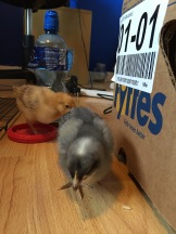 When they were given to us as rescue chicks we used to keep them inside until they grew bigger as we didn't want them to be cold.